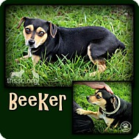 Adopt A Pet :: Beeker - Sullivan, IN