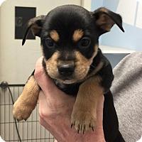 Adopt A Pet :: Trace - Fresno, CA