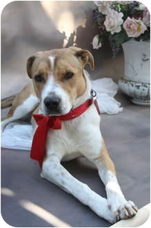 Pointer/American Pit Bull Terrier Mix Dog for adoption in san diego, California - BETSY !!