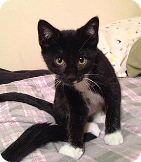 Domestic Shorthair Kitten for adoption in Chicago, Illinois - Pebbles