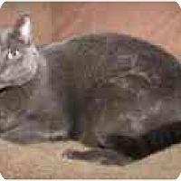 Adopt A Pet :: Sir Grey - Arlington, VA