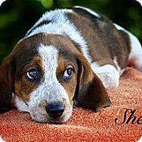 Adopt A Pet :: Shelly - Albany, NY