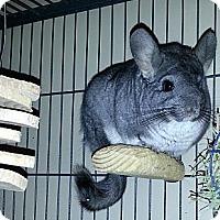 Adopt A Pet :: Layla - Granby, CT
