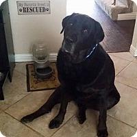 Adopt A Pet :: Shwartz - Rancho Cucamonga, CA