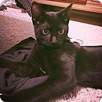Adopt A Pet :: Norman - Scottsdale, AZ