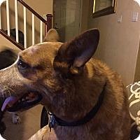 Adopt A Pet :: Boomer - Las Vegas, NV