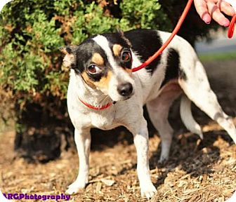 Chihuahua Mix Dog for adoption in Humble, Texas - BABY GIRL