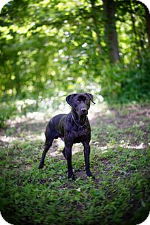 Labrador Retriever Mix Dog for adoption in Lewisville, Indiana - Tillman