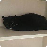Domestic Shorthair Cat for adoption in Denver, Colorado - Lily