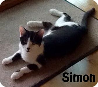 Domestic Shorthair Cat for adoption in Las Vegas, Nevada - Simon