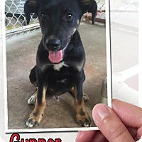 Adopt A Pet :: Gunner Adoption pending - Manchester, CT