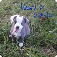 Adopt A Pet :: Chenille (DC) - Harrisonburg, VA