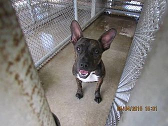 Mountain Cur/Boston Terrier Mix Dog for adoption in Lake Placid, Florida - Amy