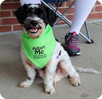 Lhasa Apso/Poodle (Miniature) Mix Dog for adoption in Centreville, Virginia - Barkley - Adoption Pending