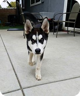 Husky Puppy for adoption in Santa Clarita, California - Rhea