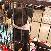 Adopt A Pet :: Riva - Mesa, AZ