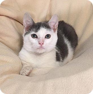 Domestic Shorthair Kitten for adoption in Staten Island, New York - Jasper