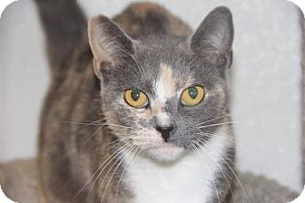 Domestic Shorthair Cat for adoption in Greensboro, North Carolina - Maydell