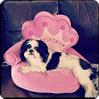 Shih Tzu Dog for adoption in Naples, Florida - Lyski