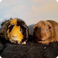 Adopt A Pet :: Simon and Garfunkel - Aurora, CO