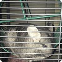 Chinchilla for adoption in Granby, Connecticut - Homer & Cooper