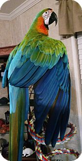 Macaw for adoption in Tampa, Florida - Vinny