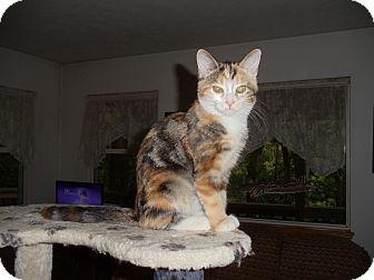 Calico Cat for adoption in Evans, West Virginia - Annabelle (Anna)