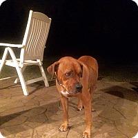 Adopt A Pet :: Caramel - Alpharetta, GA