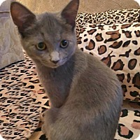 Domestic Shorthair Kitten for adoption in Westwood, New Jersey - Montana