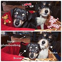 Adopt A Pet :: Bruiser - Converse, TX
