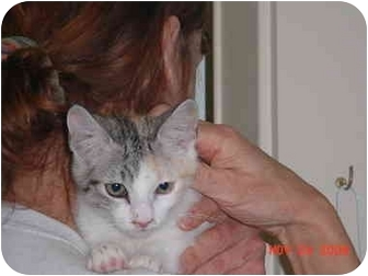 Domestic Shorthair Kitten for adoption in Pendleton, Oregon - Bijou