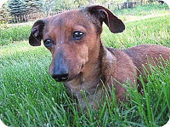 Dachshund Dog for adoption in Sioux Falls, South Dakota - Izzie