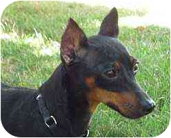Miniature Pinscher Dog for adoption in Florissant, Missouri - Naomi