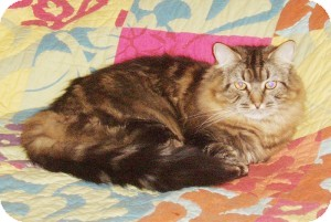 Maine Coon Cat for adoption in Medford, Massachusetts - Sierra