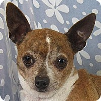 Chihuahua Dog for adoption in Cuba, New York - Kam Jefferson