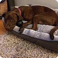 Adopt A Pet :: Happy - Oak Brook, IL