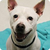 Adopt A Pet :: Chola Chaka Chan - Woodland, CA