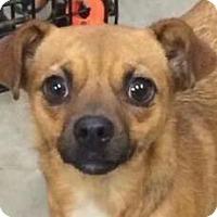 Adopt A Pet :: Mig - Brattleboro, VT
