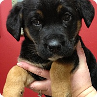 Adopt A Pet :: Ginger - Fairview Heights, IL