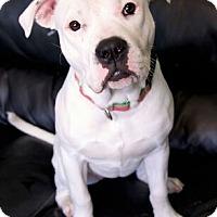 Adopt A Pet :: Vera - Framingham, MA