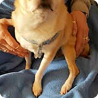Chihuahua Mix Dog for adoption in House Springs, Missouri - Peanut Buddy