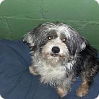 Adopt A Pet :: Midge - Westville, IN
