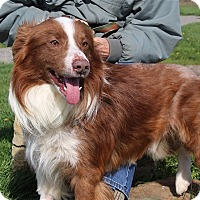 Adopt A Pet :: Cowboy - Elyria, OH