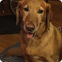 Adopt A Pet :: Brutus - Minnetonka, MN