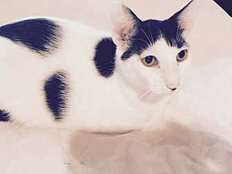 American Shorthair Cat for adoption in Houston, Texas - George