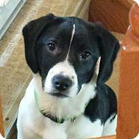 Adopt A Pet :: Deuce - Sudbury, MA