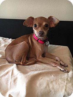Chihuahua/Italian Greyhound Mix Dog for adoption in Davie, Florida - Hope