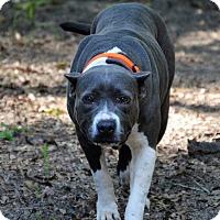 Adopt A Pet :: Saki Bomb - Tampa, FL