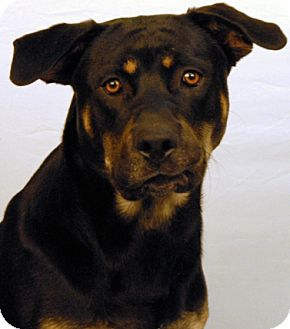 Rottweiler/Shepherd (Unknown Type) Mix Dog for adoption in Newland, North Carolina - Simba