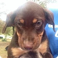 Adopt A Pet :: Juna - Trenton, NJ